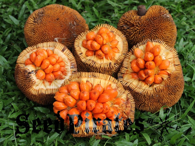 Artocarpus anisophyllus